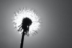 Meyer_Mattis-13Jahre-Thema1-Schwarzweiss-Sonnenpusteblume
